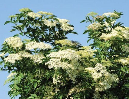 Wild Tree of the Week – Elder